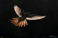 Evening Flight (cuckoo) (DanRansley) Tags: britain cuculuscanorus danransleyphotography danransleynet england greatbritain uk animal bird birding broodparasite conservation countryside cuckoo feathers flight migration nature ornithology parasite summervisitor wildlife