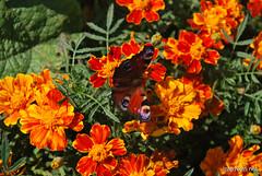 Квіти Чорнобривці InterNetri Ukraine 38