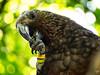kaka (AlistairKiwi) Tags: nz newzealand olympus omd landscape travel wellington north island bird zealandia tree macro kaka explore forest