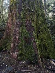 Swamp Gum, Eucalyptus regnans, trunk (Baractus) Tags: tall trees walk mount field national park tasmania australia swamp gum eucalyptus regnans john oates inala nature tours