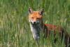Fox (geraintparry) Tags: south wales southwales nature geraint parry geraintparry wildlife cardiff forestfarm forest farm sigma sigma150600 150600 150600mm nikond500 d500 animal animals fox red redfox foxes grass green