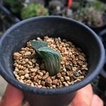 インディゴア斑入り葉を葉挿ししてみたけど表には入って無いし、普通の斑とは違う気がするから子が出ても斑無し感ある。ただ原種インディゴアの斑入りできたら最高やなぁ。 #haworthia thumbnail