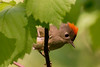 Ruby-crowned Kinglet (JohnReynolds2012) Tags: 2018 vancouver bc wildlife bird inaturalist animals birds canada mapleridge britishcolumbia ca