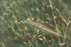 In the Tall Grass (Dave Linscheid) Tags: plant weed grass seed texture textured