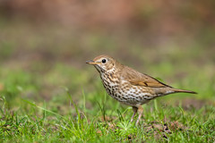 Song Thrush (Photo & Nature) Tags: green bamberg wildlife nature birds d3300 nikon 200500mm vögel singdrossel