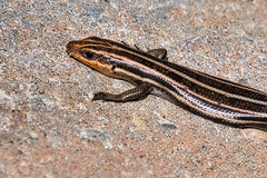 Little Lizard (KWPashuk) Tags: nikon d7200 tamron tamron18400mm kwpashuk kevinpashuk lightroom luminar luminar2018 lizard wildlife nature outdoors hilton head south carolina usa sc