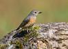 Common Redstart ( Phoenicurus phoenicurus ) Female (Dale Ayres) Tags: common redstart phoenicurus female bird nature wildlife log wood