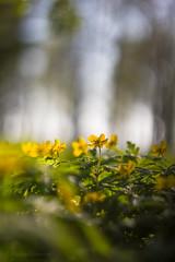 Keltavuokot (Markus Heinonen Photography) Tags: anemone ranunculoides keltavuokko yellow gulsippa kukka flower blomma kasvi plant hatanpää suomi finland luonto nature helios 442 tampere