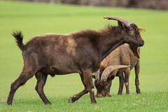 Golf course goats (mfeingol) Tags: herd puako feral goat hawaii golfcourse bigisland waimea unitedstates us