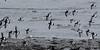 Flock of Oystercatchers (Haematopus ostralegus) (iainrmacaulay) Tags: bird uk oystercatcher haematopus ostralegus