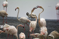 Romance in Air (Syed Mohsin Khadri) Tags: greaterflamingo flamingo birds birdphotography birdsinflight birdsofuae al wathba wetland reserve nikon d7100 nikkor 200500mm f 56 telephoto supertelephoto handheld avianphotography aves phoenicopterus roseus