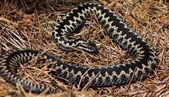 Basking Male Adder (kevinclarke1969) Tags: adder male viper snake uk reptile