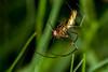 A Striped Behind, pt. 2 - _TNY_2565 (Calle Söderberg) Tags: macro canon canon5dmkii canonef100mmf28usmmacro canoneos5dmarkii 5d2 arachnidae spider spindel tetragnathidae tetragnatha sträckkäkspindel käkspindel silversträckspindel longjawedorbweaver fly prey predator lunch buggylunch bugsonbugs web spiderweb grass eating catch raynox dcr250 flash meike mk300 glassdiffusor f22