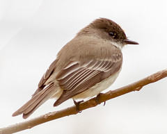 Eastern Phoebe (tresed47) Tags: 2018 201804apr 20180410marshcreekbirds april birds canon7d chestercounty content easternphoebe flycatcher folder marshcreek pennsylvania peterscamera petersphotos phoebe places season spring takenby us