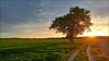 Le vieux chêne (Sugar 41) Tags: arbre chêne sunset ouest chemin path plaine contrejour backlight france loircher hdr smartphone lgg5 groupenuagesetciel