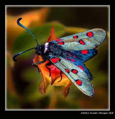 Zygaena lavandulae on Euphorbia nicaeensis (La font de la Parra, Carcaixent, la Ribera Alta, València, Spain) (Rafel Ferrandis) Tags: zygaena fontparra carcaixent papallona macro macrotwinlitemt24ex eos70d sigma150mmapomacro
