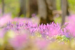 カタクリの花 (kumakichi) Tags: flower hokkaido japan katakuri spring カタクリ 北海道 旭川 春 春の写真 男山自然公園 旭川市 日本 jp