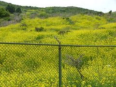 hillside (Jef Poskanzer) Tags: flowers mustard fence geotagged geo:lat=3783095 geo:lon=12248084 t