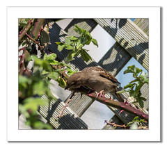 House Sparrow (Travels with a dog and a Camera :)) Tags: 2018 passer domesticus spring england bird brambles fence tamron af70300mm f456 ld macro netham house sparrows uk pentax digital k70 justpentax bristol redfield art park south west lightroom april housesparrows nethampark pentaxart pentaxk70 southwest tamronaf70300mmf456ldmacro passerdomesticus unitedkingdom gb