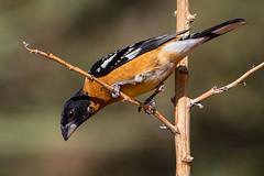 Black-headed Grosbeak (Eric Gofreed) Tags: arizona blackheadedgrosbeak grosbeak mybackyard sedona villageofoakcreek yavapaicounty