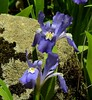 4538e3  dwarf crested iris (jjjj56cp) Tags: iris dwarfcrestediris wildflowers flowers blossoms blooms gsm greatsmokymountains gsmnp greatsmokymountainsnationalpark tn tennessee porterscreektrail greenbriar hiking trailside woods woodlands forest spring springtime purple vibrant vivid colorful p900 jennypansing smokies
