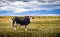 yak in Colorado... or Tibet? (andy_8357) Tags: yak tibet southern colorado atmosphere cloudy overcast beautiful sangre de cristo moffat fur hair hairy sony a6000 ilce6000 6000 nex ilcenex sel55210 telephoto horns horn emount e mount green fall autumn looking staring surprised curious alpha
