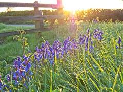 Spring at last (jonnodavies) Tags: olympus pen f stoney stanton sunrise dawn leicestershire field farm flower plant sun