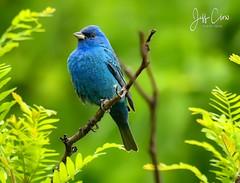 Indigo Bunting (Jeff Clow) Tags: 2018 fortworth jeffclowphototours jeffrclow may texas birdwatching birding birds nature outdoors outside paintedbunting