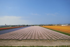 Fields of Tulip near Delft (Naval S) Tags: nl20151 delft tulips tulipfields netherlands flowers