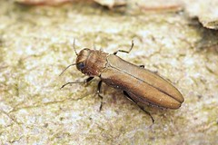 Agrilus integerrimus (Radim Gabriš) Tags: coleoptera buprestidae agrilinae agrilus agrilusintegerrimus beetle jewelbeetle insect macro