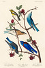 Townsend's Warbler, Arctic Blue-bird and Western Blue-bird from Birds of America (1827) by John James Audubon (1785 - 1851), etched by Robert Havell (1793 - 1878). The original Birds of America is the most expensive printed book in the world and a truly a (Vintage illustrations by rawpixel) Tags: arcticbluebird birdsofamerica johnjamesaudubon roberthavell townsendswarbler westernbluebird america bird sialiaarctica sialiaoccidentalis sylviatownsendi