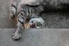 Kitten (Dragan*) Tags: cat animal kitten pet playing outdoor eye reflection