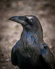An Intelligent Eye (59roadking - Jim Johnston) Tags: ifttt 500px raven corvid avian bird wildlife wild eye intelligence animal closeup