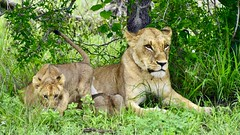 Mother's Little Stalker... (Timothy Hastings) Tags: lioness cub predator feline cat big mammal claws jaws kruger south africa sa nature reality