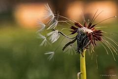 Balding (Back Road Photography (Kevin W. Jerrell)) Tags: dandelion seeds nikond7200 backyardphotography macro macrolife closeups weeds