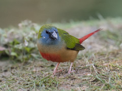 Pin-tailed Parrotfinch _ Boluo ☺ (mahi mahi 163) Tags: finch parrotfinch 80400mm china