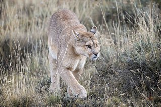 Silent Approach of the Puma