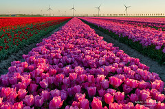 Tulips (Marc Haegeman Photography) Tags: tulips tulpen bloemen lente mei spring flowers goereeoverflakkee nederland netherlands zuidholland sky outdoor landscapephotography nature cultivation flower tulip marchaegemanphotography nikond850 herkingen sunset dusk