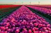 Tulips (Marc Haegeman Photography) Tags: tulips tulpen bloemen lente mei spring flowers goereeoverflakkee nederland netherlands zuidholland sky outdoor landscapephotography nature cultivation flower tulip marchaegemanphotography nikond850 herkingen sunset dusk