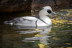 Floating on Sunlight (helenehoffman) Tags: drake acticaviary aves bird sandiegozoo smew duck mergellusalbellus conservationstatusleastconcern animal waterfowl water