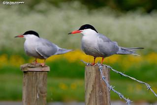 Common Tern, Sterna hirundo