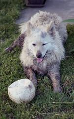 Wet dog (nEjmEd) Tags: pentax k1000 fujic200 family hometown tiszasüly colourfilm selfdeveloped
