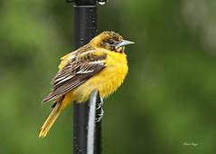 Female Baltimore Oriole (bearbear leggo) Tags: baltimore oriole bird orange female birding backyard wildlife ontario kingston