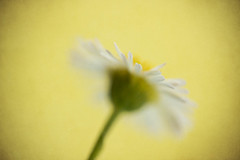 It's the little things that count (alideniese) Tags: 7dwf flora flower nature daisy wildflower macromademoiselle flowertheme macro closeup alideniese one single alone tiny small delicate bokeh focus texture colour colourful shallowdepthoffield white yellow