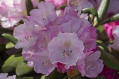 """Rhododendron - Arboreum """"Het Leen"""" - Eeklo - Belgium (wietsej) Tags: rhododendron arboreum hetleen eeklo belgium flower nature sony rx10 iv rx10m4"""