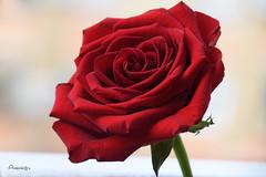 Red Beauty (Anavicor) Tags: rose rosa flor blume red rojo pasión primavera spring mayo mai may plant planta printemps quintaflower jueves thursday donnerstag giovedi jeudi juevesdeflores anavillar villarcorrero anavicor