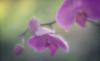 Phalo 2 (Anne Worner) Tags: anneworner d7000 nikon on1 velvet56 blooming blossom bud flower orchid phalaenopsis pink stem texture manualfocus manualfocuslens shallowdof petals textureoverlay