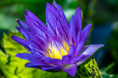 Water lily (poormommy) Tags: flower lily waterlily petals blue green