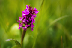 Geflecktes Knabenkraut / Moorland Spotted Orchid (dejott1708) Tags: geflecktes knabenkraut orchidee orchid macro moorland spotted dactylorhiza maculata grass