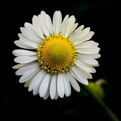 Dark Daisy (Jump83) Tags: lowkey macromondays macromademoiselle
